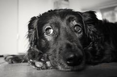 Ricky (tom-schulz) Tags: ricoh grii monochrom bw sw berlin thomasschulz hund