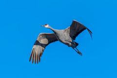 The flight of the sandhill crane (sniggie) Tags: gruidaefamily hardincounty kentucky birdmigration birdwatching winter kos sandhillcrane antigonecanadensis