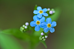 Forget-Me-Not (pstenzel71) Tags: blumen natur pflanzen myosotis vergissmeinnicht forgetmenot darktable flower bokeh