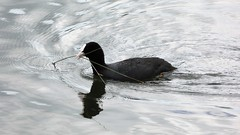 Coot (Deanne Wildsmith) Tags: bartonmarina staffordshire bird earthnaturelife coot waterfowl