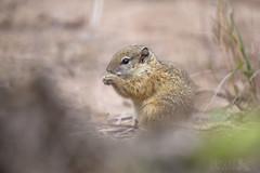 Tree Squirrel (Ben Locke.) Tags: treesquirrel squirrel africa southafrica wild wildlife nature