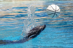 magic water ball control (Wright_shot_UK) Tags: seal seals sealion water action ball basketball actionphotography sport
