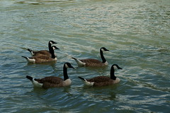 Kanadagänse (Lutz Blohm) Tags: kanadagänse naturfoto natur rhein rheinufer sonyfe24105mmf4goss fluskilometer410 sonyalpha7aiii