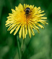 DSC05021-3 (Antti.R) Tags: macro bee