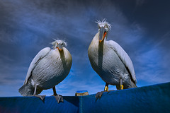Open Invitation (janinelee66) Tags: dalmationpelican bird greece winter white boat blue plumage sky clouds travel wildlife