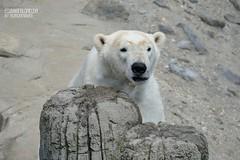 Charlotte - Eisbär - Erlebnis-Zoo Hannover (ElaNuernberg) Tags: eisbärcharlottealiaslottchen erlebniszoohannover zoo zooanimals zootiere eisbär ijsbeer isbjorn ourspolaire orsopolare niedźwiedźpolarny jääkaru ursusmaritimus polarbear