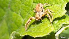 tarentule radiée (OT38) Tags: arachnides aranéides araignées hognaradiata macro tarentuleradiée lycosidé