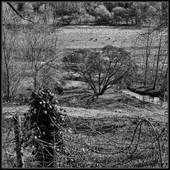 Mono Tree (J-o-h-n---E) Tags: wiltshire castlecombe monochrome bw tree valley fence river horses