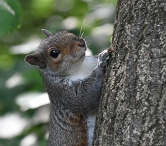 Grey squirrel face (Lancs & Lakes Outback Adventure Wildlife Safaris) Tags: nikon 18300mm d5500 squirrel greysquirrel stanleypark blackpool climb peek peer mammal rodent