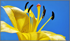 Reach for the sky......... (Jason 87030) Tags: yellow petal pretty flower stamen sun bluesky reach stretch cool composition nice floral display lily lilies