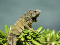 Iguana (© Freddie) Tags: aruba oranjestad reptile lizard iguana fjroll ©freddie