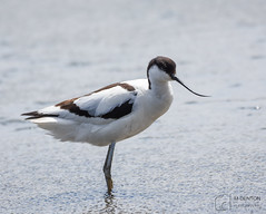 Avocet (mikedenton19) Tags: recurvirostra avosetta recurvirostraavosetta avocet titchwell marsh titchwellmarsh rspb bird wildlife nature naturereserve norfolk wader
