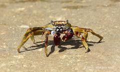 Sally Lightfoot Crab (© Freddie) Tags: crab aruba oranjestad fjroll ©freddie crustacea