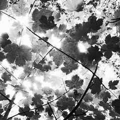 Canopy (graemes83) Tags: ricoh gr woods coppice trees tree forest nature leaves leaf