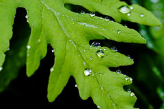 Water Beads on the Fern... (pa_cosgrove) Tags: leaf fern water droplets closeup macros green rain sony a73