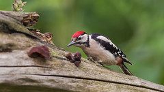 Great Spotted Woodpecker ( Dendrocopos major ) Juvenile (Dale Ayres) Tags: great spotted woodpecker dendrocopos major juvenile bird nature wildlife wood