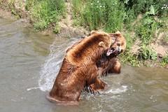 Round 1: fight (michael.heucke) Tags: bear nature animals tiere natur gelsenkirchen bär медведь zoomerlebniswelt kamtschatkabär animal zoo bears tier bären