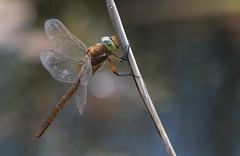 norfolk_hawker (gillywizz) Tags: dragonflies norfolkhawker strumphaw
