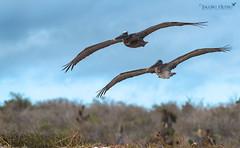 Pelícano pardo de las Galápagos/ Galapagos brown pelican (Pelecanus occidentalis urinator) (Jacobo Quero) Tags: pelican brownpelican pelícanodelasgalápagos ave pájaro bird birding nature naturaleza animal wildlife islasgalápagos