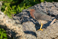 Green Heron (NicoleW0000) Tags: greenheron heron wader bird nature wildlife ontario