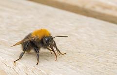 Bee (Dibbly Dobbler) Tags: sonyrx10iii macro bee