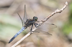 scarce_chaser (gillywizz) Tags: dragonflies scarcechaser strumphaw