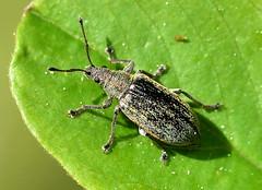 Lövvivel / Common Leaf Weevil (Phyllobius pyri) hane (Martin1446) Tags: nature natur nikon d500 macro makro insect insekt vivlar lövvivel common leaf weevil phyllobius pyri hane