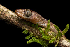 Imantodes cenchoa (www.endlessfields.ch) Tags: animal costa rica macro macrophotography wildlife wildlifephotography reptile snake bluntheaded treesnake blunt headed tree schlange