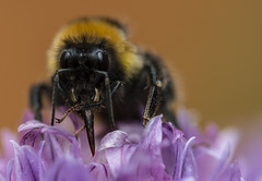 Checking out the Chives (stopdead2012) Tags: insect bee bumblebee chive flower macro