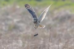 Change of diet? (PIX SW) Tags: bird short eared owl shortearedowl seo flying fllght owls shorty shortie asioflammeus birds nature burger