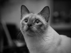 P6182301 (Vladimir V. Samoylov) Tags: 75mm animals bnw cat e5markii mzuiko75mmf18 m43 micro43 microfourthirdsmicro43 mono monochrome olympus olympusm45mmf18 omd μ43
