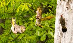 7K8A9082 (rpealit) Tags: scenery wildlife nature weldon brook management area flickers flicker bird