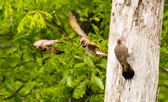 7K8A9081 (rpealit) Tags: scenery wildlife nature weldon brook management area flickers flicker bird