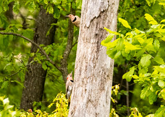 7K8A9090 (rpealit) Tags: scenery wildlife nature weldon brook management area flickers flicker bird