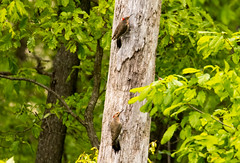 7K8A9097 (rpealit) Tags: scenery wildlife nature weldon brook management area flickers flicker bird