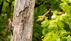 7K8A9107 (rpealit) Tags: scenery wildlife nature weldon brook management area flickers flicker bird