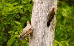 7K8A9116 (rpealit) Tags: scenery wildlife nature weldon brook management area flickers flicker bird