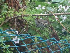 Blackcap Female (river crane sanctuary) Tags: blackcap female rivercranesanctuary wildlife nature