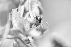my small friend (kceuppens) Tags: insect macro black white flower blackandwhite bw zwart wit nikon d810 sigma 150mm nikond810 sigma15028 natuur nature bloem