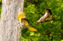7K8A9123 (rpealit) Tags: scenery wildlife nature weldon brook management area flickers flicker bird