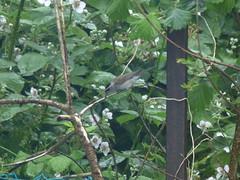 Blackcap Male (river crane sanctuary) Tags: blackcap male rivercranesanctuary wildlife nature