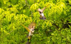 7K8A9127 (rpealit) Tags: scenery wildlife nature weldon brook management area flickers flicker bird