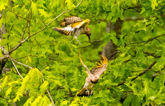 7K8A9130 (rpealit) Tags: scenery wildlife nature weldon brook management area flickers flicker bird