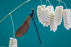 Still Life? (PedroLanders) Tags: yelverton devon miltoncombe odonata damselfly stilllife insect