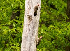 7K8A9075 (rpealit) Tags: scenery wildlife nature weldon brook management area flickers flicker bird