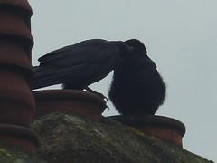 Tender Moment between two Crows (river crane sanctuary) Tags: crows rivercranesanctuary birds nature wildlife