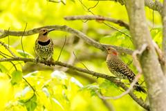 7K8A9149 (rpealit) Tags: scenery wildlife nature weldon brook management area flickers flicker bird