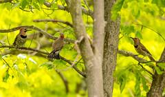 7K8A9156 (rpealit) Tags: scenery wildlife nature weldon brook management area flickers flicker bird