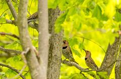 7K8A9162 (rpealit) Tags: scenery wildlife nature weldon brook management area flickers flicker bird