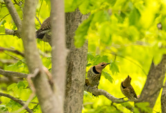 7K8A9164 (rpealit) Tags: scenery wildlife nature weldon brook management area flickers flicker bird